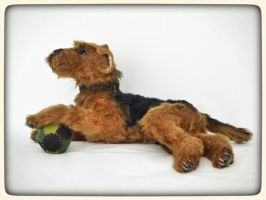 Copernicus the Welsh terrier by KALEideaSCOPE