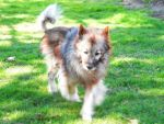 A Keeshond named Victoria by Hederahelix82688