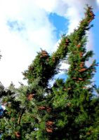 Pine Cones To The Sky by Momofbjl