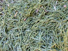 pine needles by KTVL-resources