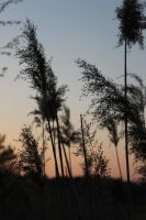 Grasses in sunset by GRANA53