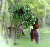 Plantains by jennystokes