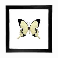 Real Papilio dardanus Butterfly Display by TheButterflyBabe