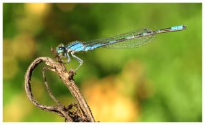 Blue Damsel by Machinegun-Willy