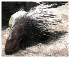 Porcupine by picworth1000wrds
