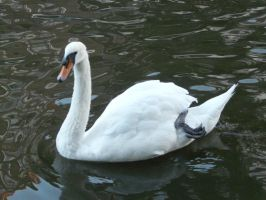Swan by IdunaHaya-Stock