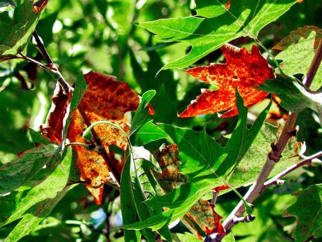 buttonwood leaves contrast colors by Ali-Safdarian