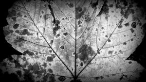 leaf in bw by niwaj