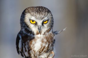 Northern Saw-whet Owl by GuillaumGibault