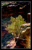 Grand Canyon - 16 - Cacti by michaeltoe