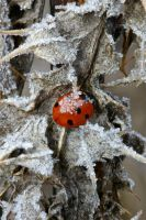 ladybird in frost by stuartreading