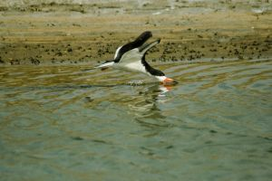 Black Skimmer 03 by robert-kim-karen
