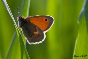 Small heath by Slinky-2012