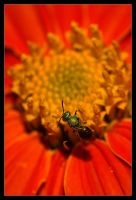 Bee on Melon Flower by Karl-B
