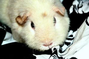 My guinea pig Molly by lasihiutale