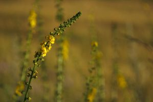 Agrimony by perost