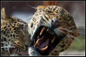 Grumpy leopard by AF--Photography