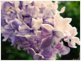 Lilac flower by moonik9