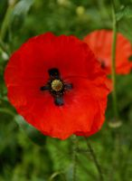 Remembrance Poppy 2012 by Deb-e-ann