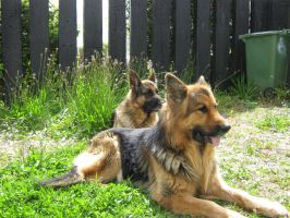 kernow german shepherd by kernowtokyojoe