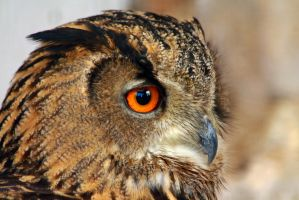 Eurasian Eagle Owl Portrait by Tinap