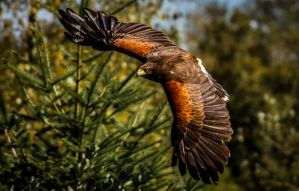 Harris Hawk by nigel3