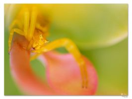 Crab Spider - I by RemiGarciaPhoto