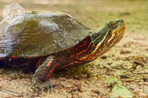 Red n Yellow Turtle by shaguar0508