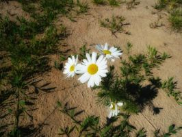 .camomile. by Innette