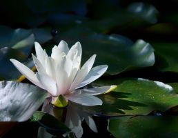 Water Lilly by sztewe