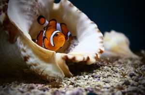 Clown Fish II by Verenth