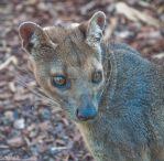 Fossa by Dragon-flame13