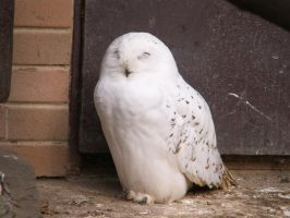 Snowy Owl 01 by animalphotos