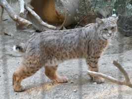 Bobcat by mmmchocolate
