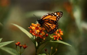 Wallpaper butterfly by pincel3d