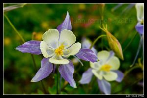 Columbine Flower by NaujTheDragonfly