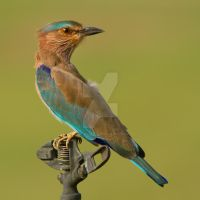 Looking back - Indian Roller by Jamie-MacArthur