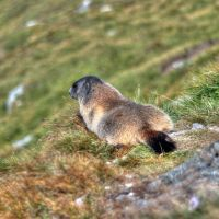 Relaxing Marmot by Burtn