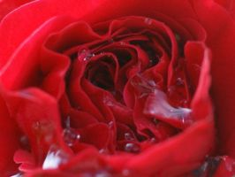 red rose after a summer rain by madlaine