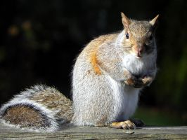GreySquirrel by Lou-in-Canada