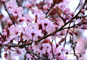 flowering Trees by SvitakovaEva
