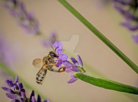 Mmm.. Love the smell of lavender! by clochartist-photo
