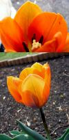 Tulipa by cls62