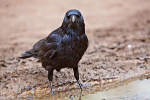 Crow in a Puddle by cathy001