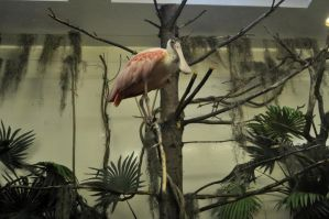 Roseate Spoonbill at Hershey Park, PA by MireInHypocrisy
