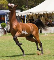 STOCK - TotR Arabians 2013-150 by fillyrox