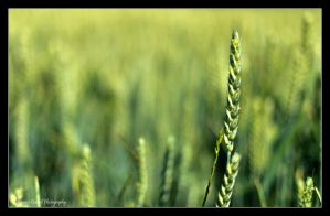The wheat field by LordLJCornellPhotos