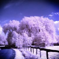 Summer Trees Infrared by MichiLauke