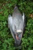Dead pigeon stock 2 by AnnieSue-stock