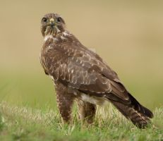 I see you - common buzzard by Jamie-MacArthur